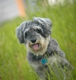 Miniature Schnauzer, 9 months, Gray